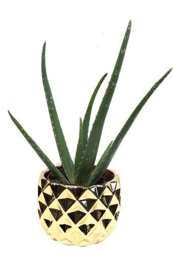 Plant Aloe Vera - Las Vegas